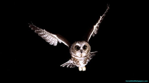 Owl Bird Predator, Owl Bird, Owl Predator, Owl, Bird, Predator, Predator Bird, Flying, Wings, Night, Dark, Black Background,Owl Bird Flying In Night, Owl Flying In Night, Owl Bird Predator, Owl Bird, Owl Predator, Owl, Bird, Predator, Predator Bird, Flying, Wings, Night, Dark, Black Background, Bird Wallpapers, Latest, HD, Wallpaper, Download, IC583