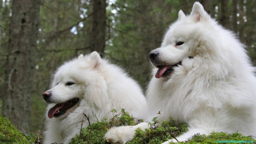 Samoyed Dog, Samoyed, Dog Couple, Dog, Couple, Pair, Two, White Color, Sitting, Forest, Pet Animal, Pet, Animal,Samoyed Dog Couple In Forest, Samoyed Dog In Forest, Samoyed Dog, Samoyed, Dog In Forest, Dog Couple, Dog, Couple, Pair, Two, White Color, Sitting, Forest, Pet Animal, Pet, Animal, Dog Wallpapers, Animal Wallpapers, Samoyed Wallpapers, Latest, HD, Wallpapers, Download, IC1689